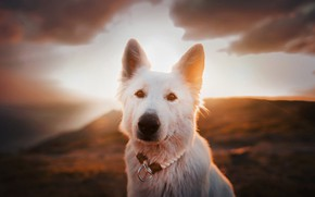 Picture look, face, sunset, dog, The white Swiss shepherd dog