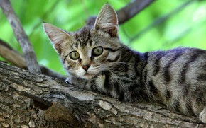 Picture cat, look, green, kitty, grey, background, branch, bark, kitty, striped