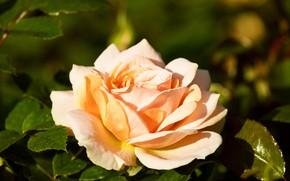 Wallpaper flower, background, rose, garden, Bud, yellow, luxury