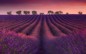 Picture field, trees, dawn, France, morning, France, lavender, plantation, Valensole, Valensole