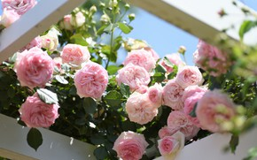 Picture roses, pink, buds, a lot