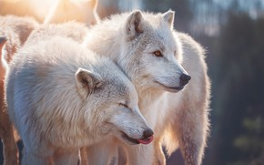 Picture portrait, pair, wolves, white, Duo, two, muzzle, polar, polar wolf, two wolves