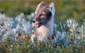Picture nature, background, Fox