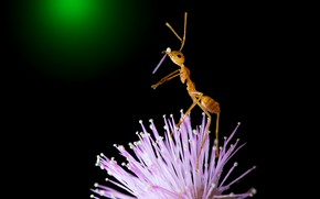 Picture flower, macro, pose, pink, petal, red, ant, insect, is, black background, stand