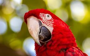 Picture look, red, portrait, parrot, bokeh, Ara