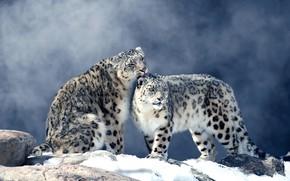Picture winter, snow, fog, stones, pair, snow leopard, two, snow leopards, ounces
