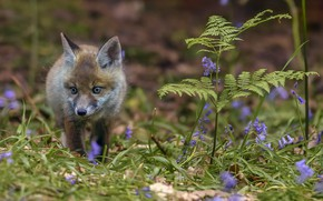 Picture forest, spring, Fox