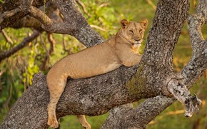 Picture tree, stay, lioness, wild cat, on the tree
