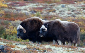 Picture nature, pair, two, bulls, bull, musk ox, musk ox