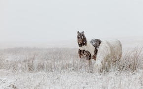 Picture winter, field, snow, nature, horse, horse, two, horses, horse, pasture, pair, pony, snowfall, two horses, …