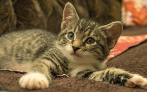 Picture cat, look, pose, kitty, grey, background, paws, cute, fabric, lies, kitty, face, striped