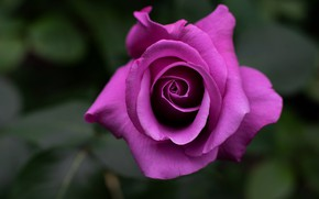Picture flower, background, rose, Bud, lilac