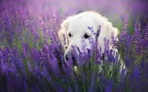 Picture field, language, look, face, flowers, pose, portrait, dog, white, beauty, sitting, Labrador, lavender, Retriever, lilac …