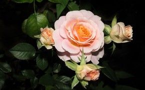 Picture flowers, rose, Bush, buds