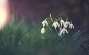 Picture snowdrops, the dark background, spring, glade