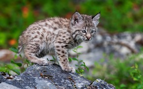 Picture nature, pose, kitty, stone, lynx, bokeh, a small lynx
