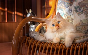 Picture cat, cat, stay, chair