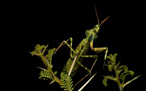 Picture look, macro, pose, green, legs, plants, mantis, alien, insect, black background, antennae