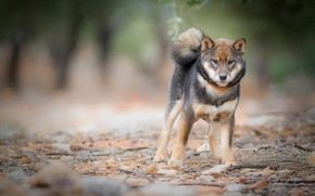 Picture dog, doggie, nature, collar, Shiba inu, stones, young