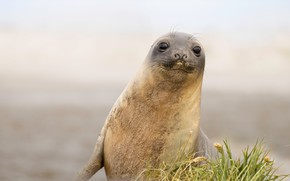 Picture grass, pose, smile, seal, face, Navy seal, cub