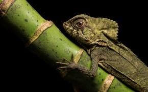 Picture look, portrait, stem, lizard, black background, reptile