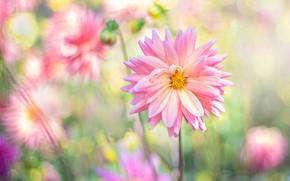 Picture summer, flowers, blur, garden, pink, Dahlia, bokeh, dahlias