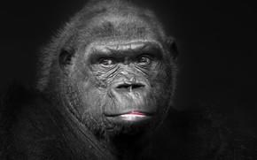 Picture portrait, monkey, Gorila