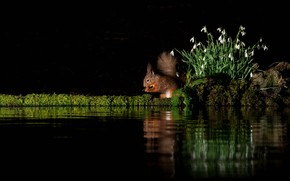 Picture flowers, reflection, protein, snowdrops, black background, pond