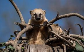 Picture look, face, branches, stump, coati, the coati