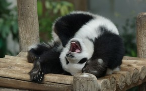 Picture face, nature, pose, paws, baby, bear, mouth, Panda, bear, zoo, logs, bench, somersault