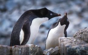 Picture stones, penguins, pair, communication, Antarctic Penguins