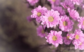 Picture flowers, pink, petals