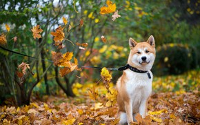 Picture autumn, forest, look, leaves, branches, Park, foliage, bright, dog, yellow, leash, walk, sitting, falling leaves, …