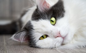 Picture cat, cat, look, face, close-up, background, portrait, floor, lies, green eyes, grey with white