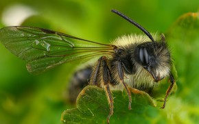 Picture leaves, macro, green, bee, background, OSA, insect