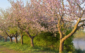 Picture grass, the sun, trees, branches, spring, garden, flowering, flowers