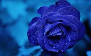 Wallpaper flower, water, drops, macro, blue, rose