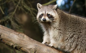 Picture animal, branch, raccoon