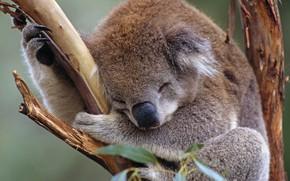 Picture Australia, Koala, marsupials