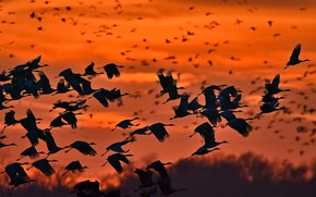 Picture birds, pack, silhouette, canadian cranes