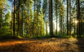 Picture forest, the sun, spruce