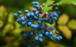 Picture leaves, nature, berries, tree, foliage, branch, blue, fruit, blue, bokeh, blurred background