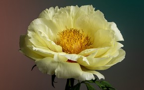 Picture macro, petals, cream, peony