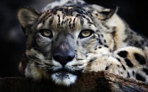 Picture predator, snow leopard, snow leopard, IRBIS