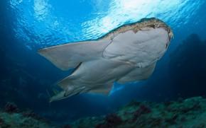Picture sea, water, light, the ocean, danger, fish, predator, shark, depth, angel, inhabitants, underwater, shark, Squatina
