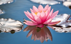 Picture flower, leaves, pond, reflection, pink, Lily, Nymphaeum, water Lily