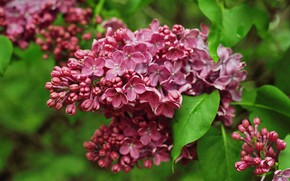 Picture macro, bunch, lilac