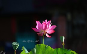 Picture background, spring, Lotus
