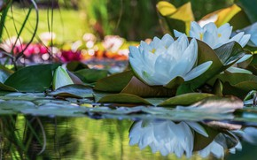 Picture leaves, water, light, flowers, lake, pond, reflection, two, petals, white, Duo, water lilies, pond, bokeh, …