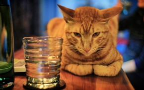 Picture cat, cat, look, face, glass, pose, table, background, mood, bar, red, alcohol, drink, sitting, the …